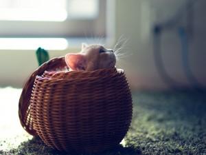 Gato dentro de una cesta redonda
