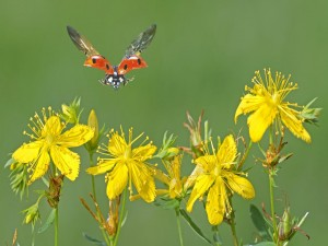 Mariquita volando sobre unas flores amarillas