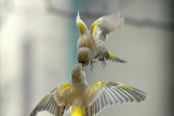 Dos pájaros peleando en el aire