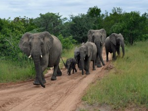 Familia de elefantes recorriendo la selva por un camino