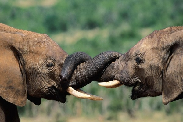 Dos elefantes entrecruzando sus trompas