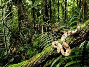 Gran pitón sobre una rama en la selva