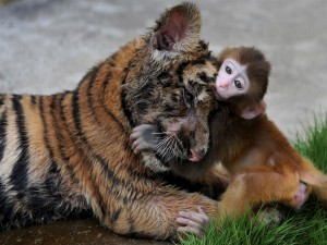 Cachorro de tigre jugando con un mono