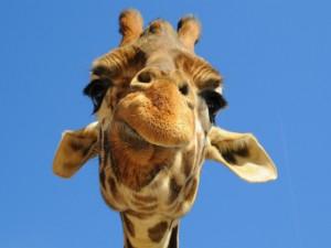Cara de una jirafa