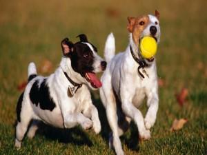 Dos perros jugando con una pelota en el jardín