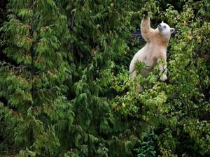 Oso blanco trepado en las ramas de los árboles