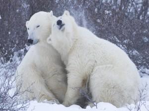 Romance entre dos osos polares