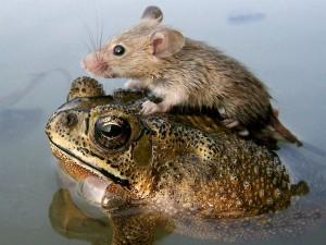 Ratón sobre una rana