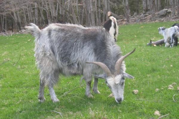 Cabras comiendo hierba fresca