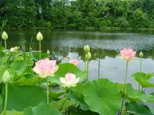 Lotos sagrados junto a un estanque