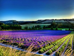 Hermoso campo con flores lila