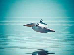 Pelícano volando a ras del agua