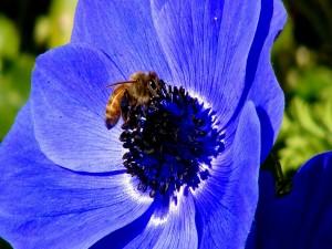 Abeja sobre una gran flor azul