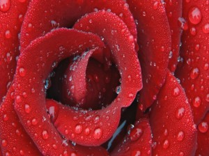 Los pétalos de una rosa cubiertos de gotas de agua