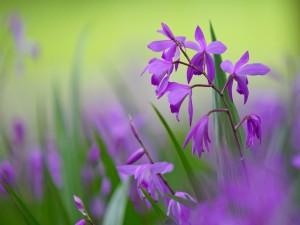 Orquídea (Bletilla striata) en el campo