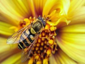 Una bonita abeja sobre una flor amarilla