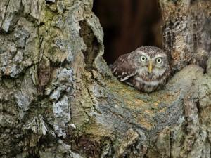 Mochuelo en el hueco de un árbol