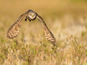 Lechuza volando sobre un campo