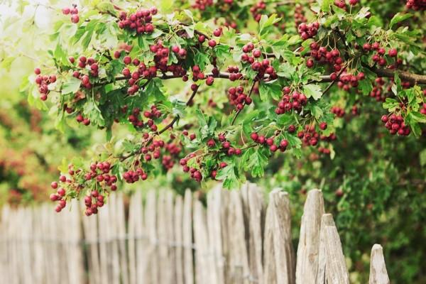 Un árbol cubierto de bayas rojas