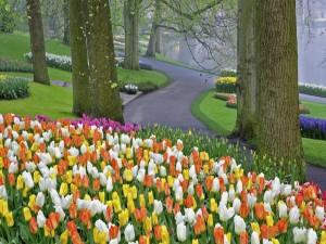 Tulipanes junto a un camino