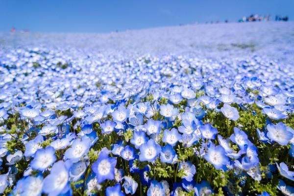 Campo de flores azuladas