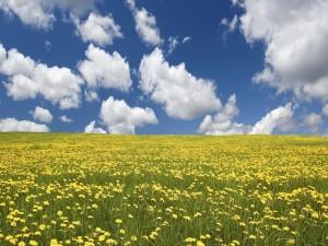 Nubes sobre un campo de flores amarillas