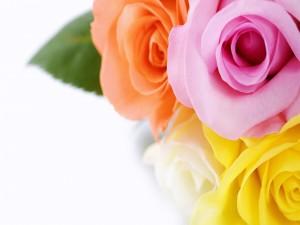 Cuatro rosas cada una de un color