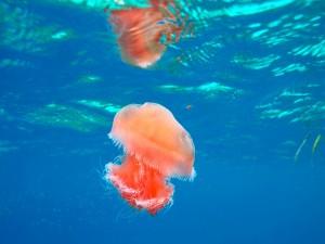 Medusa rosa en el mar