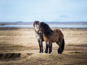 Dos hermosos ponis