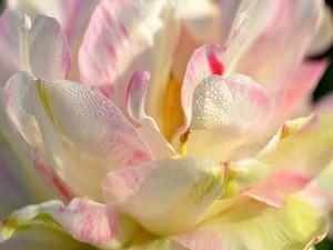 Delicada magnolia con gotas de rocío en los pétalos