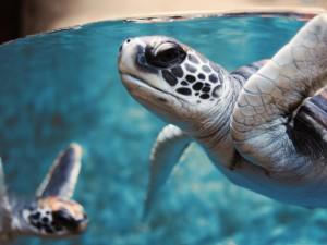 Dos tortugas marinas bajo el agua