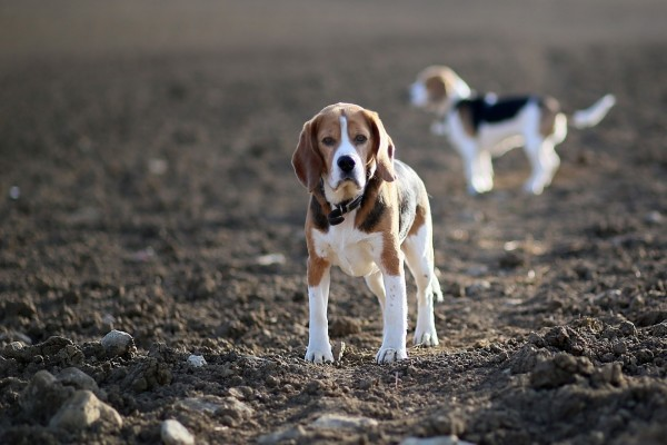 Dos perros quietos sobre la tierra