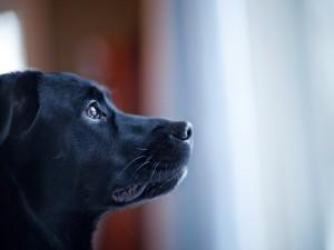 La cara de un bonito perro negro