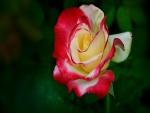 Una rosa con pétalos de dos colores
