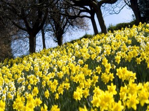Narcisos amarillos brillando al sol