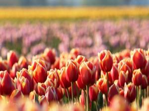 Tulipanes en un campo