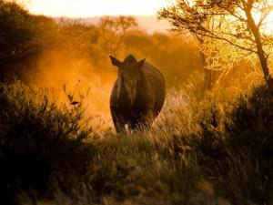 Un rinoceronte caminando