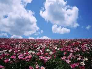 Un campo de flores rosas y blancas