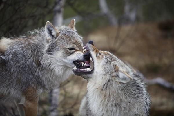 Lobo mordiendo el hocico de otro lobo