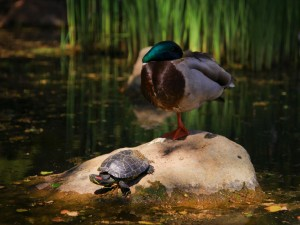 Tortuga y pato sobre la misma roca