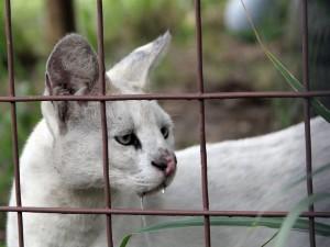 Un serval blanco viviendo en cautividad