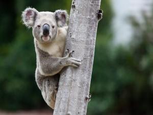 Koala en el tronco de un árbol