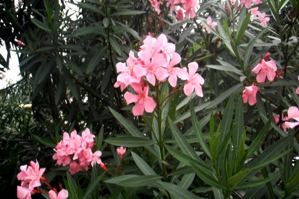 Hermosas flores rosas entre hojas verdes