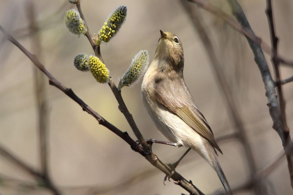 Pájaro posado en la rama de un sauce