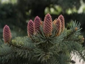 Conos en la rama de un pino
