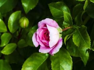 Rosa color rosado en un rosal