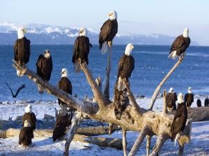 Águilas calvas sentadas en un árbol caído cerca del agua