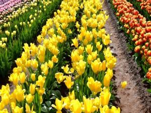 Tulipanes coloridos sembrados en un campo