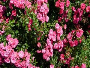 Rosal con pequeñas rosas de un bonito color rosa