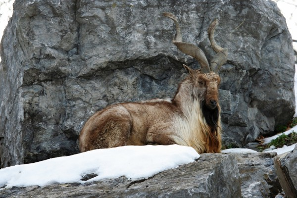 Cabra montesa sentada en una roca